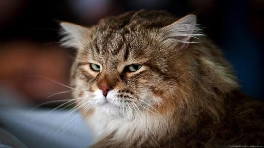 not-satisfied-cat