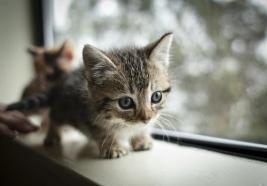 dwarf-kitten-01