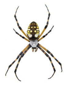 golden_orb_weaver